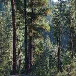 Bruce and Darcy's yard has beautiful ponderosa pines.