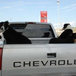 We saw a couple instances of unleashed dogs in the backs of trucks.
