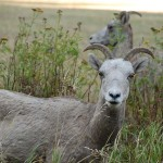 We came across a small herd of bighorn sheep grazing along side the road.