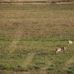 Antelope were as plentiful as deer in our WI cornfields.