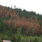 There were patches of dead pines in places in the Black Hills