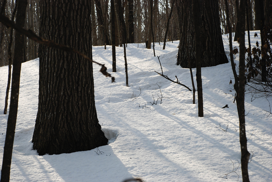 The thaw rings at the base of the trees behind our house drew me outsite today